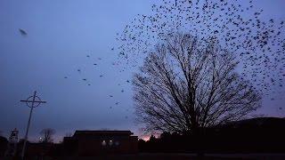 Blackbird formations in Huntsville, Alabama