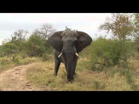 Safari TV Diary - Bull Elephant tries to mate a small young female