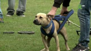 International Race for Pitbulls - Sofia Bulgaria (part I)