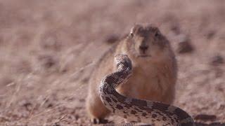O 'duelo': documentário da BBC mostra roedor enfrentando cobra para defender seus filhotes