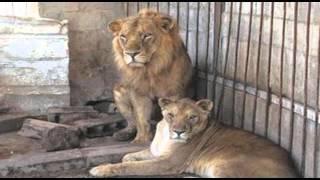 شیر ایرانی پس از ۱۲۰ سال به زادگاهش باز می گردد