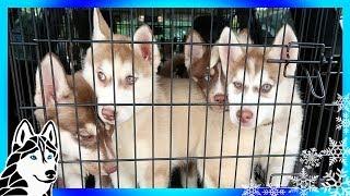 SIBERIAN HUSKY PUPPIES | So many Puppies | HELP US HELP HUSKIES