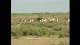 Grasslands of Karera Wildlife Sanctuary, with blackbuck