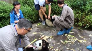 Panda Cub encounter at Bifengxia Panda Breeding Centre in China Part 2
