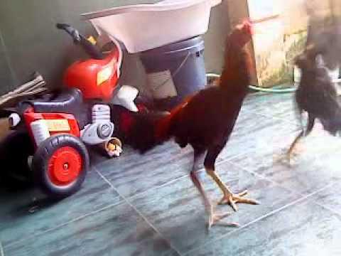 ayam pukul mati