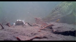 Pike Taking dead baits! Under water rig view!