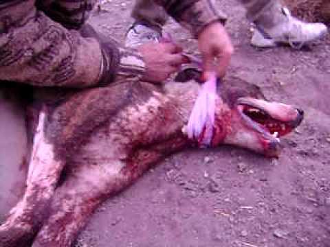 Caza de Jabali a perro y a cuchillo