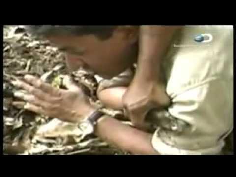 Crudo y Sin Censura Anaconda Corrida Caballo Eagle. 1 4
