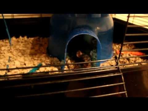 MY PET RAT SNICKERS BIT ME!