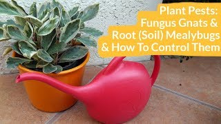 Plant Pests: Fungus Gnats & Root (Soil) Mealybugs & How to Control Them / Joy Us Garden