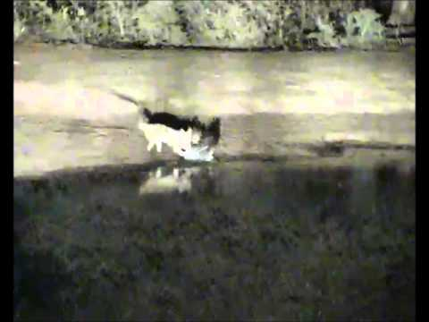 GRAPHIC Jackal Kills Giant Eagle Owl at Pete s Pond 7 11 2013