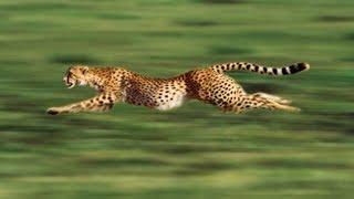 صراع البقاء #4 ( وحش فائق السرعة ) افضل لقطات الفهد الصياد ملك السرعة !