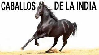 EXPO SHOW DE CABALLOS RAZA MARWARI HORSES