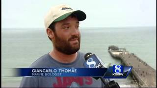 Swimmers return to water after 15 great white sharks spotted in Aptos