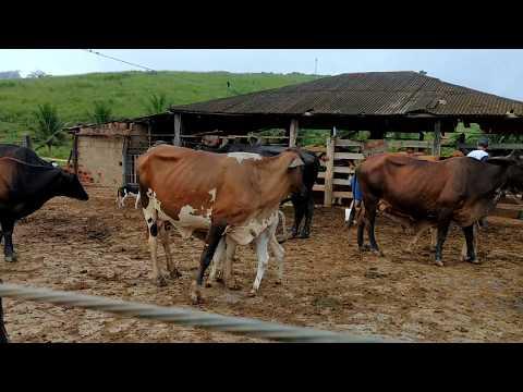Xxx Mp4 Vaca De Primeira Cria Bicho Bravo Meu DEUS Tô Fora Do Curral 3gp Sex