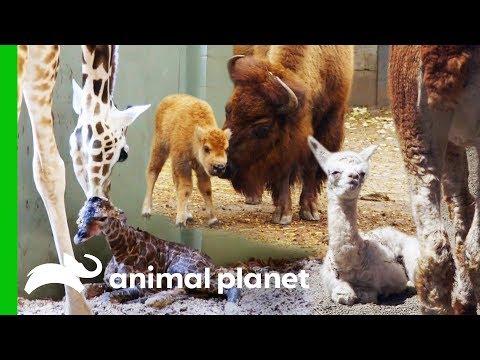 🔴Incredible Baby Animal Births Animal Planet