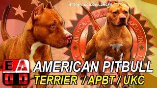 AMERICAN PITBULL TERRIER (APBT) Standard UKC, Historia, caracteristicas, cuidados y salud.