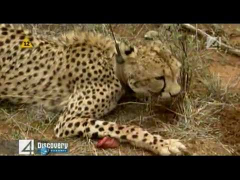 Gepard Wyścig z czasem Cheetah Race Against Time Discovery Channel