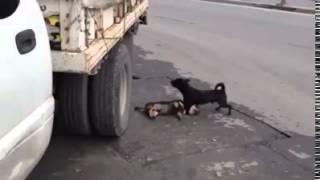 loyalty of dogs     وفاء الكلاب