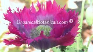 2015 POPPY HARVEST HD Photos of #Opium #Poppy Seed #Pods & Flowers