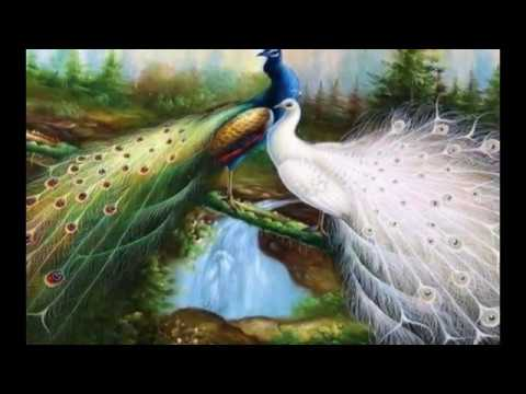 Xxx Mp4 Best Beautiful Peacock HD Images Photos And Wallpaper Download 3gp Sex