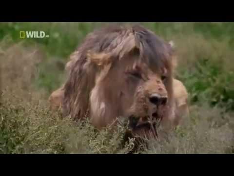 Aslanların Kendi Arasındaki Büyük Savaşı