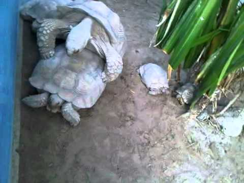 Xxx Mp4 Turtle Couple In Dubai Having Open Sex 3GP 3gp Sex