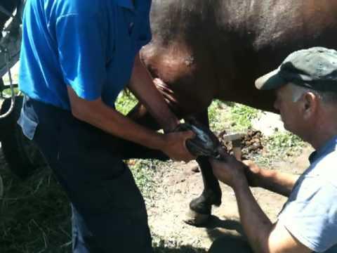 Potkivanje konja u selu Vitanovići