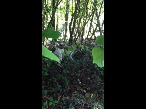 chasse arret sur faisan