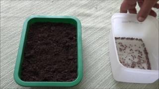 How to Plant Sensitive Plants From Seeds?