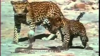 Leopard Cub Vs King Cobra