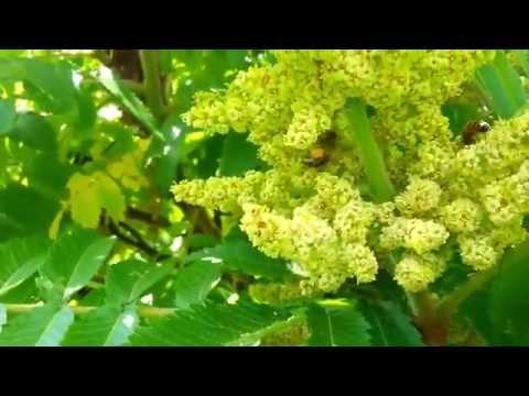 Sumak octowiec kwitnie