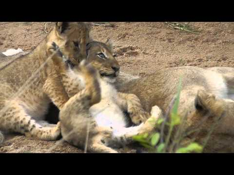 Xxx Mp4 Lion Cubs Very Young At Ulusaba 1 3gp Sex