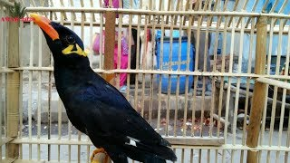 GALIFF STREET PET MARKET KOLKATA INDIA DEC VISIT | PAHARI MAINA