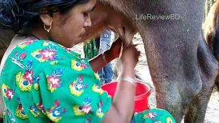 Village Style Buffalo Milking By Village Woman/Amazing Women Milking /Quick Milking