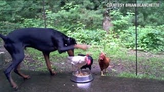 Distraction: Chickens take on Doberman