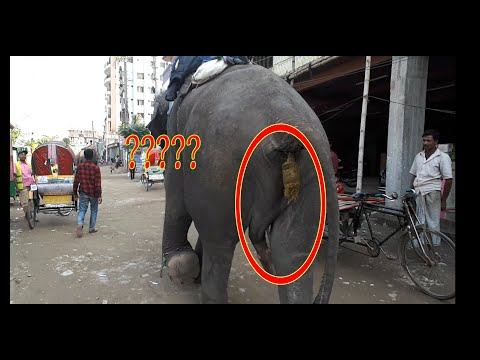 Xxx Mp4 How Intelligent Elephant Who Knows How To Make Money In Bangladesh Money Collectoin By Elephant 3gp Sex