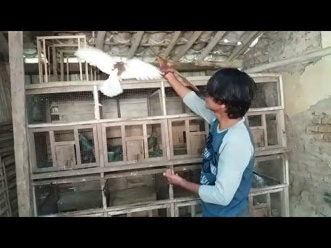Latihan dasar melatih merpati kolong di rumah supaya cepat ngolong