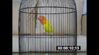 Lovebird Lutino Mm Ngekek Panjang Alexis 1 Menit Baru Download Mp3 Mp4 3GP HD Video