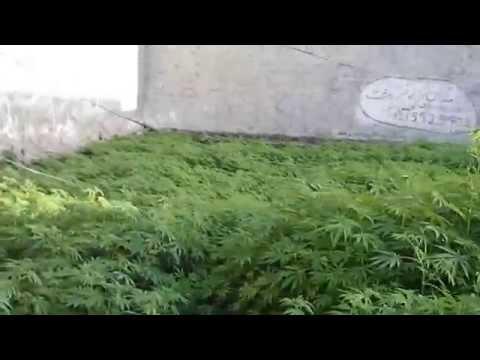 Lalamusa Pakistan weed spotting, marijuana plants, cannabis all over