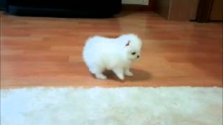 my cutest pure white tea cup Pomeranian puppy doing funny in my house