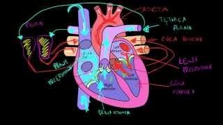Układ krwionośny i serce