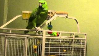 Tommy the Parrot sings Bad Romance-Lady Gaga