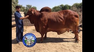 World Heaviest Red Sindhi And Sahiwal Bull In Pakistan Coming Karachi Sohrab Goth Cow Mandi 2018