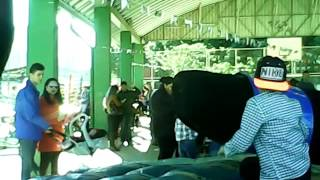 El toro marvado