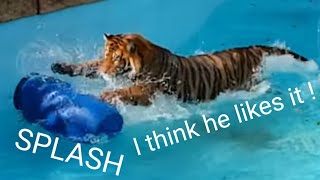 Tiger's reaction to the perfect tiger toy!