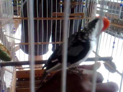 Cardeal pássaro do Nordeste