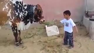 A cow hit a child!!!