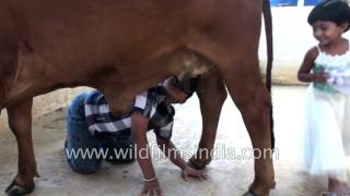 Indian girl and boy drink milk from cow's udders - Only in India!