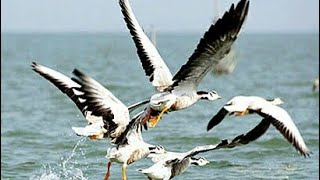 Chilika Lake kalijai birds